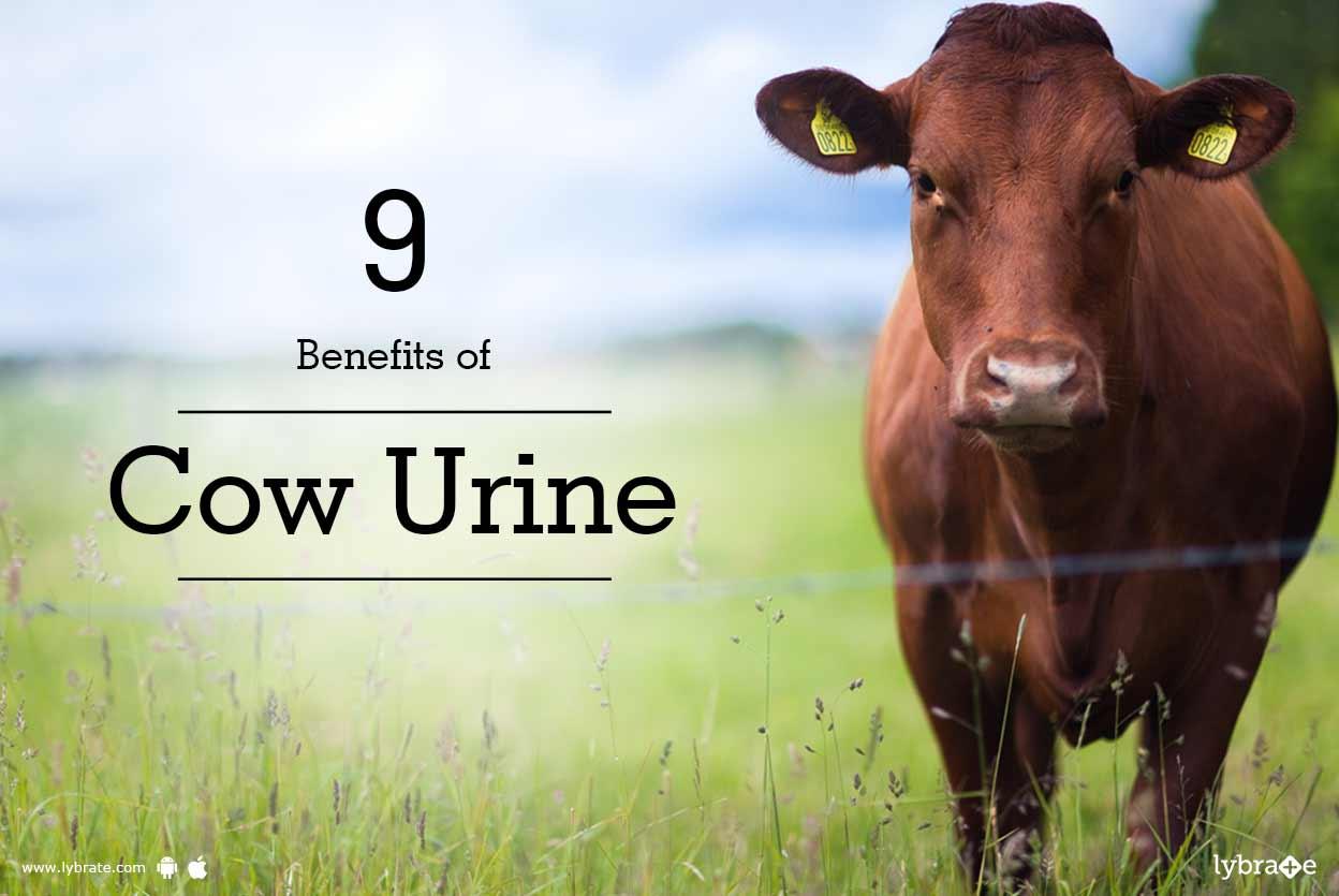 9 Benefits Of Cow Urine