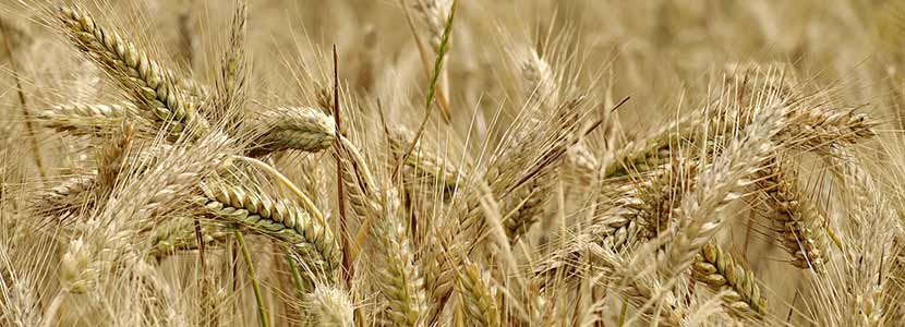 benefits of triticale and its side effects lybrate