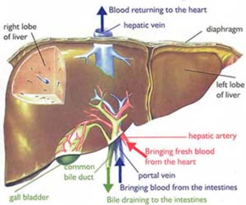 Cupping Therapy In Liver Disorders By Dr Izhar Hasan Lybrate