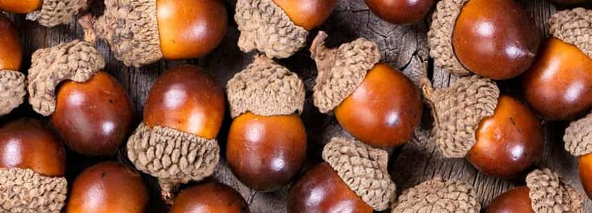 Image result for acorns