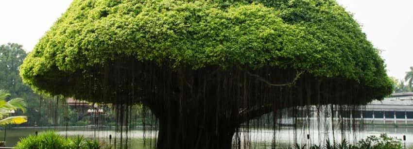 Banyan Tree Benefits   Lybrate