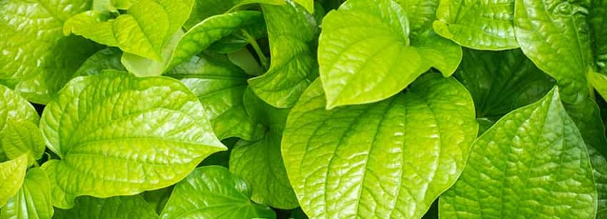Betel Leaf Benefits And Its Its Side Effects | Lybrate