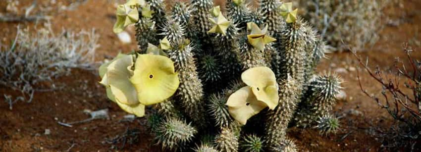 Benefits Of Hoodia Gordonii And Its Side Effects Lybrate