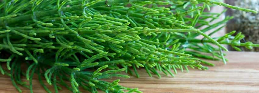 Benefits Of Horsetail And Its Side Effects Lybrate