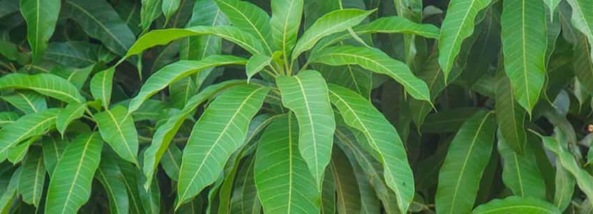 Mango Leaves Benefits And Its Side Effects | Lybrate