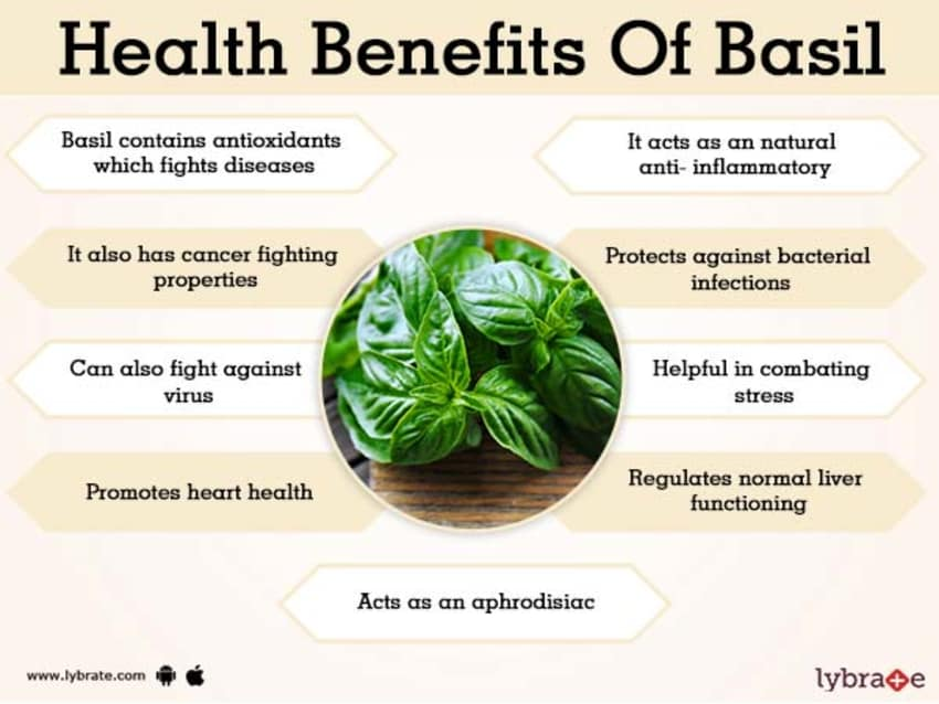 Basil Benefits And Its Side Effects | Lybrate