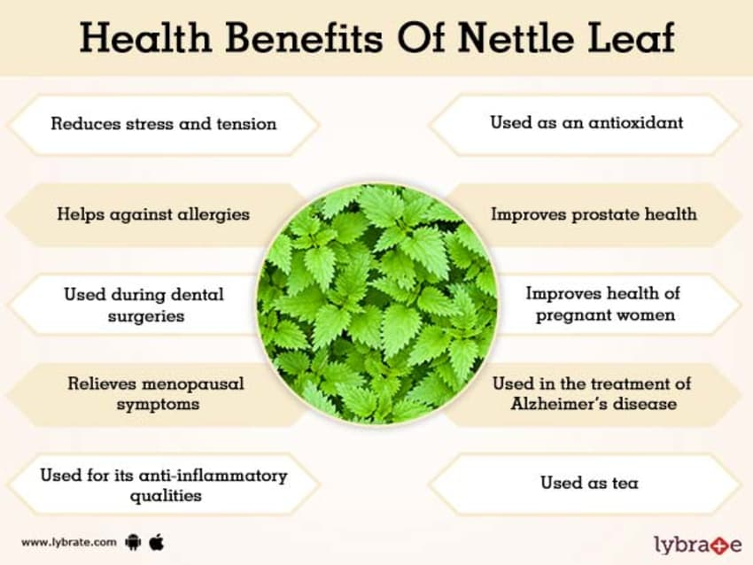 Nettle Leaf Benefits And Its Its Side Effects | Lybrate