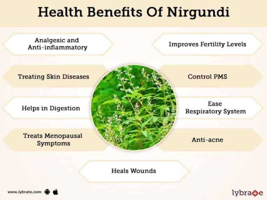Nirgundi Benefits And Its Side Effects | Lybrate