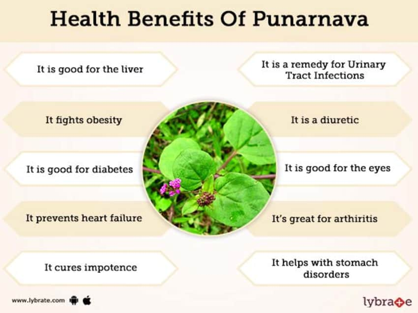 Punarnava Benefits And Its Side Effects | Lybrate