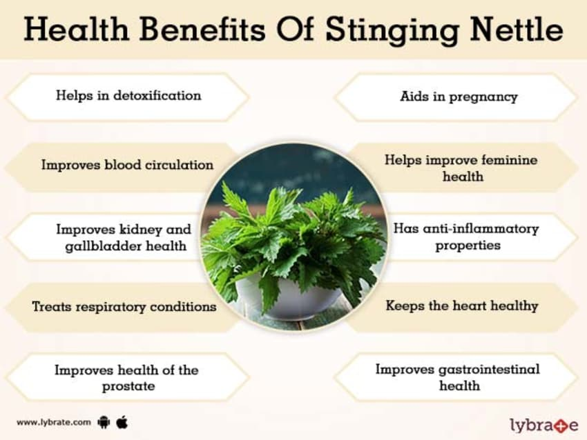 Benefits Of Stinging Nettle And Its Side Effects Lybrate